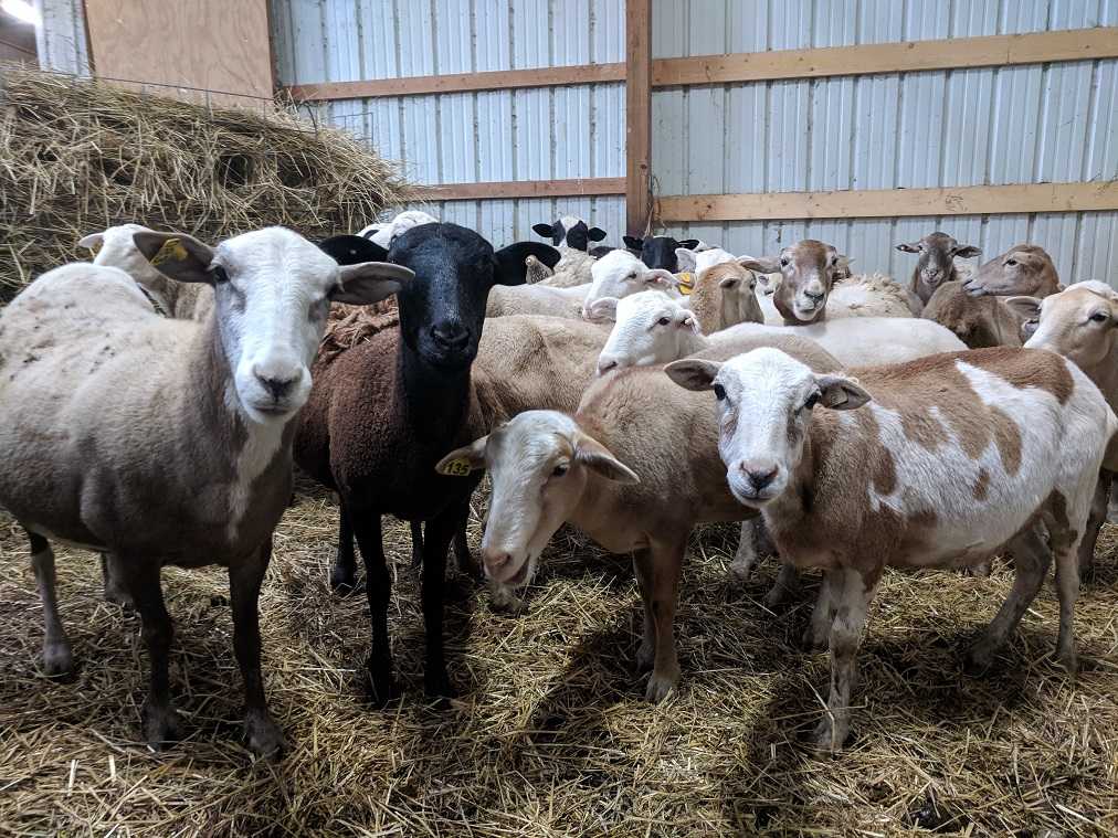 Photo of several sheep in a barn